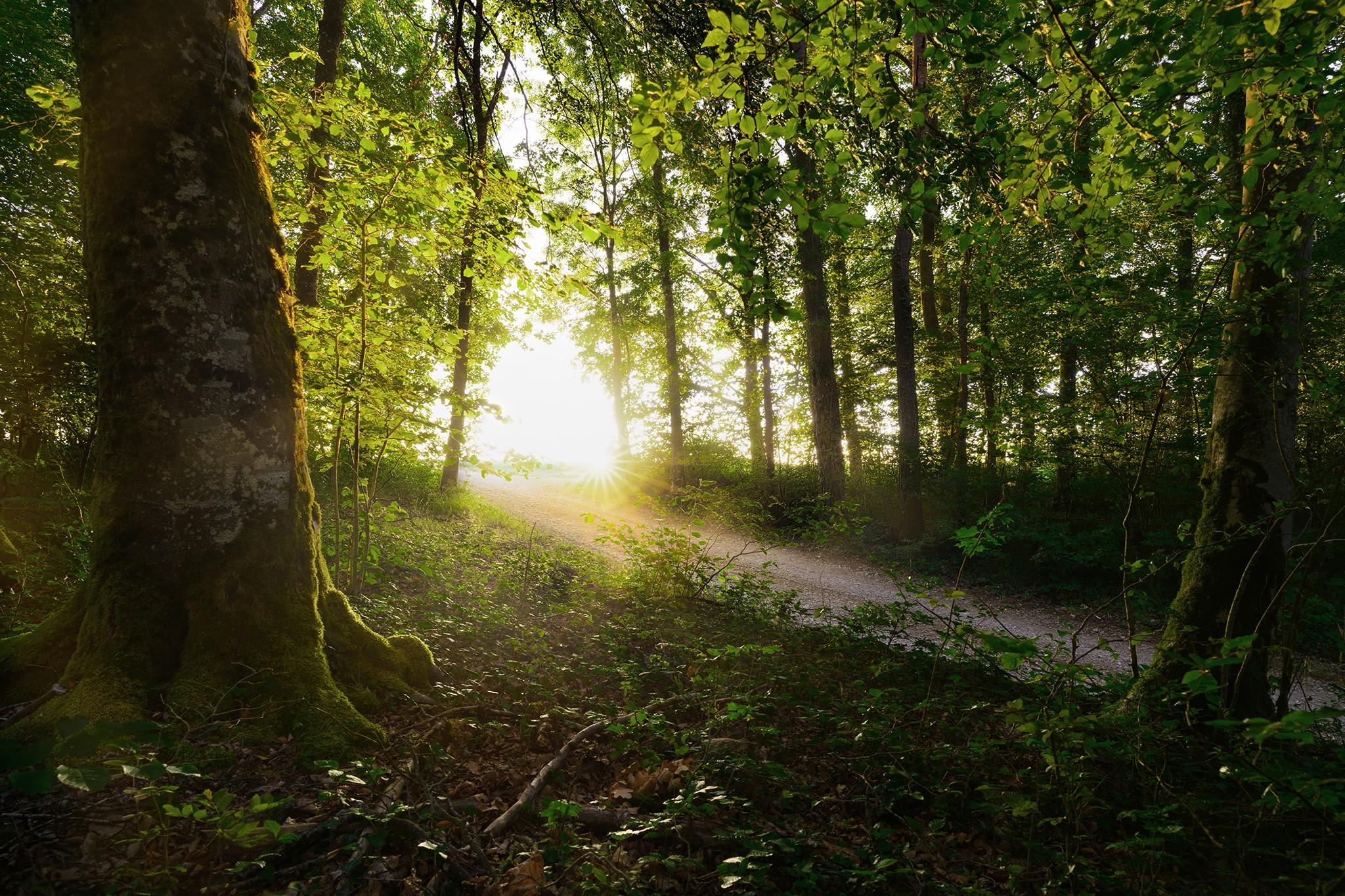 Lever de soleil au travers de la forêt de hêtres vosgienne  Lorraine – Neufchateau
